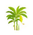 banana tree bananas palm vector image vector image
