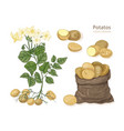 detailed botanical drawings of potato plant with vector image vector image