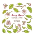 cherry flowers set vector image
