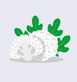 cauliflower isolated on blue background vector image vector image
