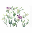 herbarium of eustoma watercolor vector image vector image