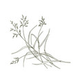 poa pratensis field meadow grass isolated on vector image vector image