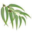 eucalyptus branch vector image vector image