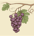 bunch grapes with leaves vector image