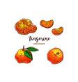 tangerine drawing hand drawn mandarin vector image vector image