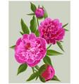 realistic pink peonies flower vector image