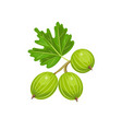 gooseberry isolated on white background vector image vector image