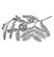 pine cone of bald cypress vintage vector image vector image