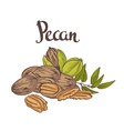Green Pecan nuts with leaves and dried Pecan nuts vector image