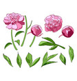 pink peony elements set vector image vector image