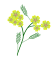 Yellow Yarrow Flowers or Achillea Millefolium vector image vector image