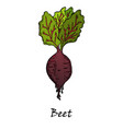 hand drawn of a red beet with leaves vector image vector image