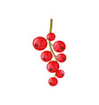 red currant vector image