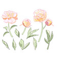 tender light colors peony elements set vector image