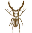 engraving antique stag beetle vector image