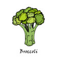 broccoli drawing isolated on white background vector image vector image