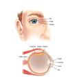 Eye anatomy vector image vector image