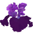 purple iris flower isolated on white background vector image vector image
