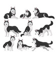 collection of siberian husky in various poses vector image