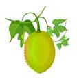 gac fruit healthy orange vegetarian jackfruit vector image vector image