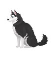 siberian husky sitting white and black purebred vector image vector image