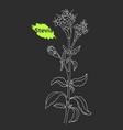 stevia sketch 2 vector image