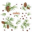 set ink sketch of color cedar branches with vector image vector image