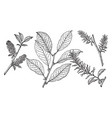 branch of beaked willow vintage vector image vector image