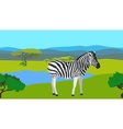 Zebra in the field with green grass horisontal vector image vector image
