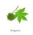 drawing branch sweetgum tree vector image vector image