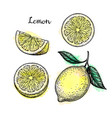 sketch of lemon vector image