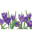 purple crocus flowers vector image