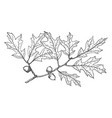branch of georgia oak vintage vector image vector image