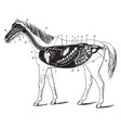 digestive apparatus of the horse vintage vector image vector image