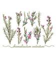 set botanic floral elements chamaelaucium vector image