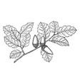 branch of coast live oak vintage vector image vector image