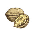 hand drawn walnut nuts vector image vector image