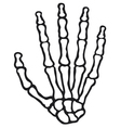 human skeleton hand vector image