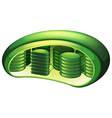 Chloroplast vector image vector image