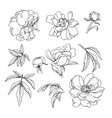 peonies flowers and leaves plant elements set vector image vector image