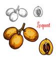 loquat sketch tropical fruit vector image vector image