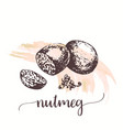 nutmeg nut seed sketch on watercolor paint hand vector image