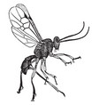female adult parasite wasp vintage vector image vector image