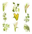 flat sett of cereals and legumes plants vector image