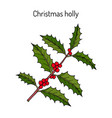 holly ilex aquifolium tree branch with green vector image