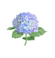 highly detailed of hydrangea vector image vector image