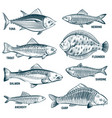 sketch fishes trout and carp tuna and herring vector image vector image