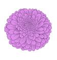 flower chrysanthemum isolated on white vector image