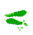 Fresh Green Peppercorns Ripening on A Branch vector image vector image