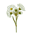 Hand drawn colorful bouquet of chamomile flowers vector image vector image